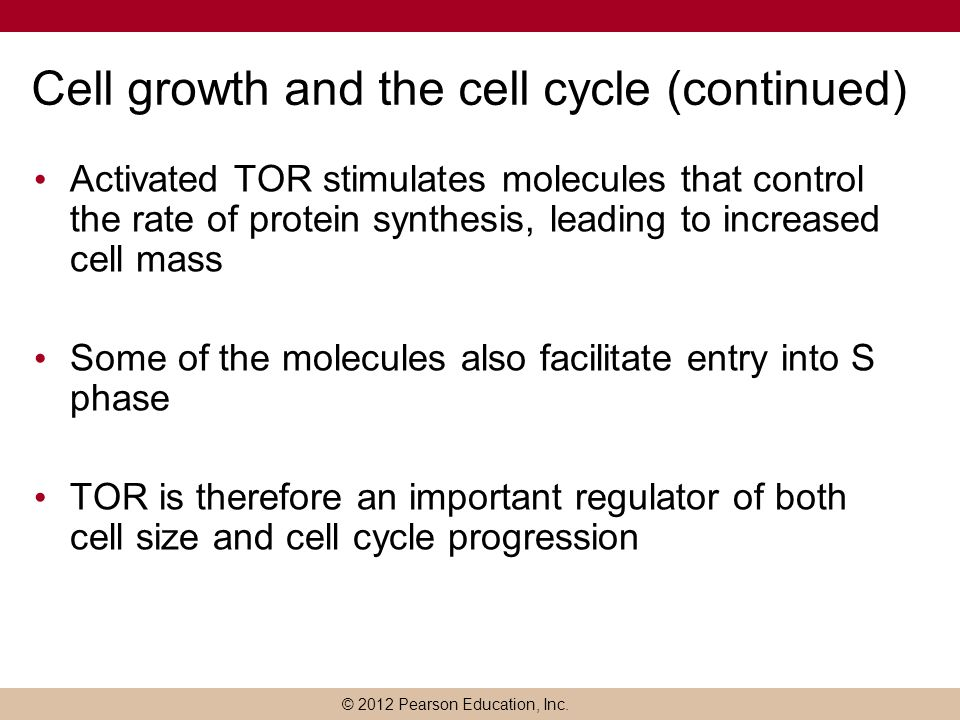 © 2012 Pearson Education, Inc. Cell growth and the cell cycle (continued) Activated TOR stimulates molecules that control the rate of protein synthesi