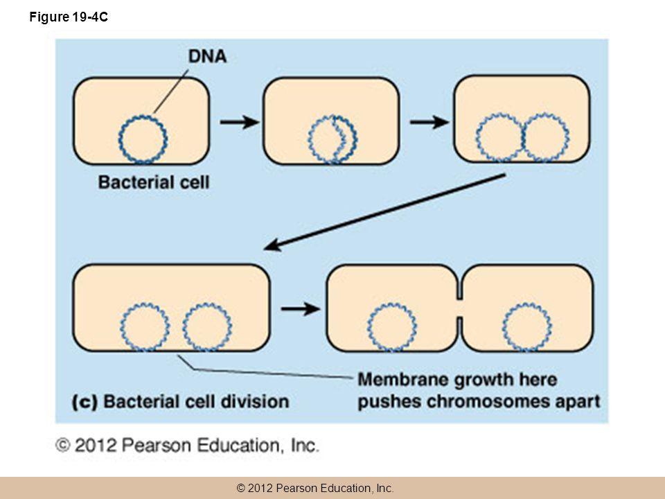 © 2012 Pearson Education, Inc. Figure 19-4C