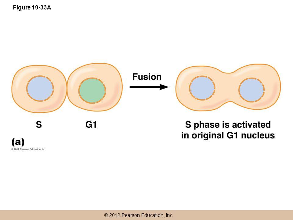 © 2012 Pearson Education, Inc. Figure 19-33A