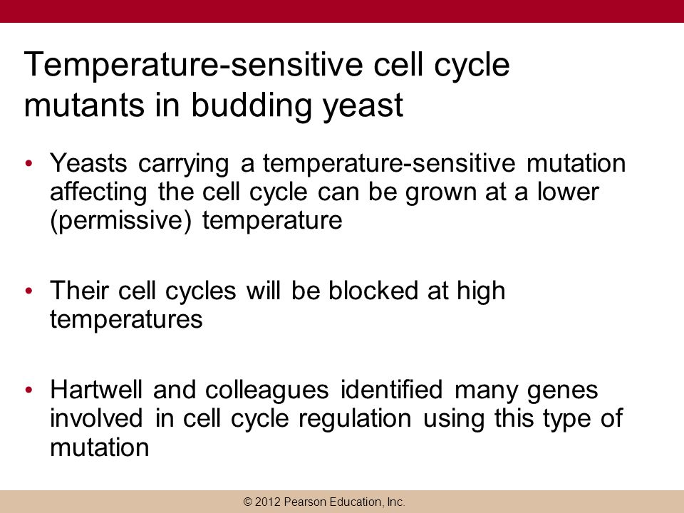 © 2012 Pearson Education, Inc. Temperature-sensitive cell cycle mutants in budding yeast Yeasts carrying a temperature-sensitive mutation affecting th
