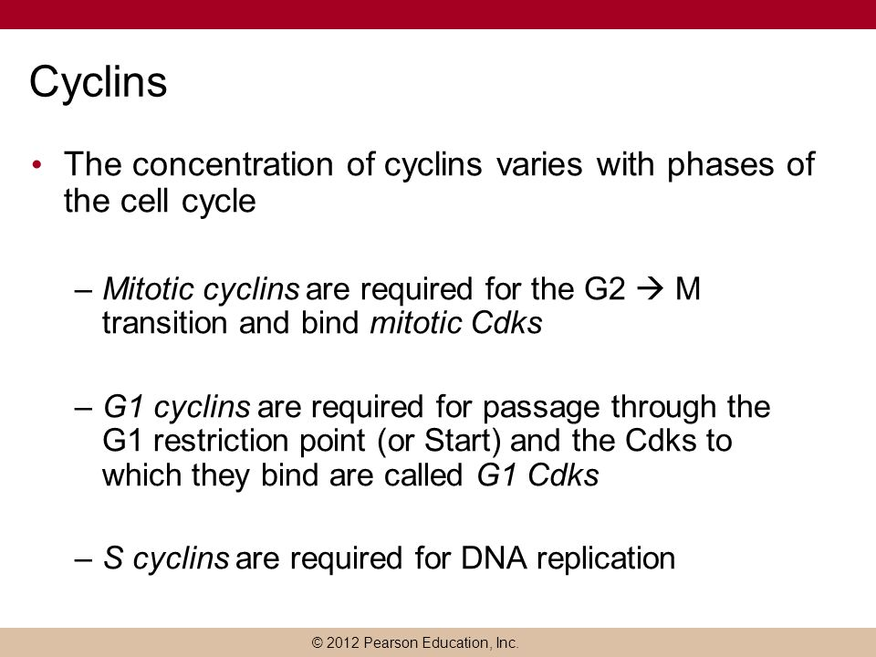 © 2012 Pearson Education, Inc. Cyclins The concentration of cyclins varies with phases of the cell cycle –Mitotic cyclins are required for the G2  M