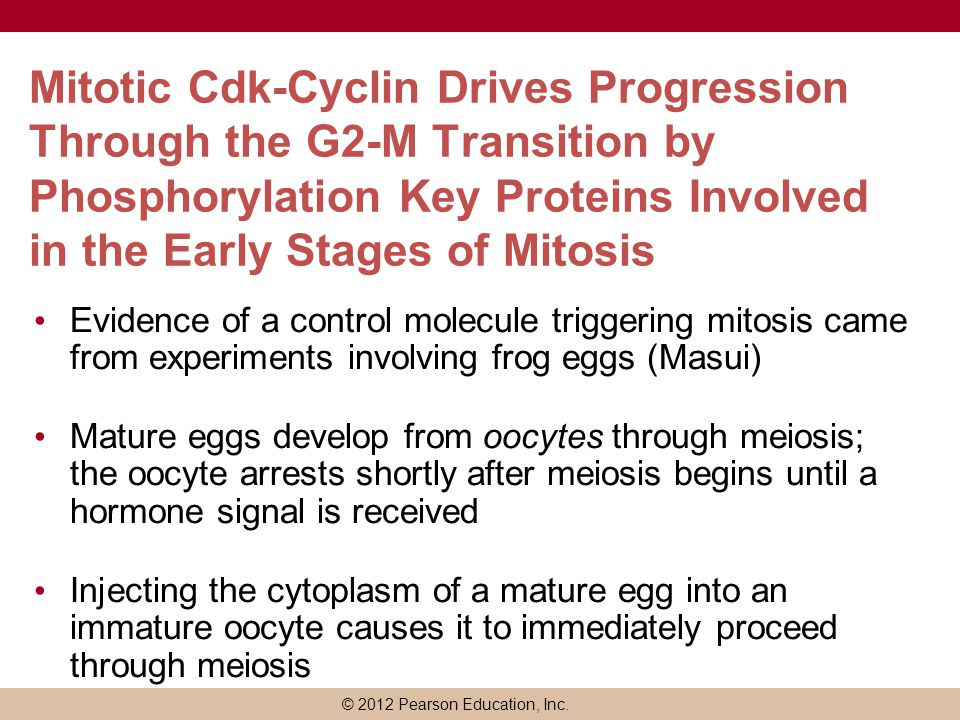 © 2012 Pearson Education, Inc. Mitotic Cdk-Cyclin Drives Progression Through the G2-M Transition by Phosphorylation Key Proteins Involved in the Early