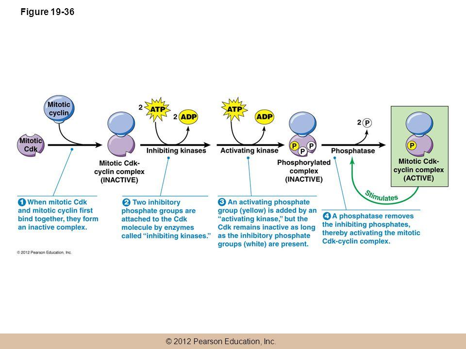 © 2012 Pearson Education, Inc. Figure 19-36