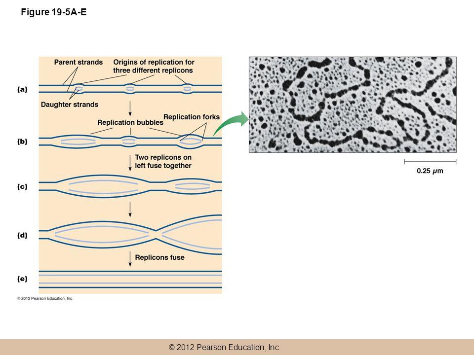 © 2012 Pearson Education, Inc. Figure 19-5A-E