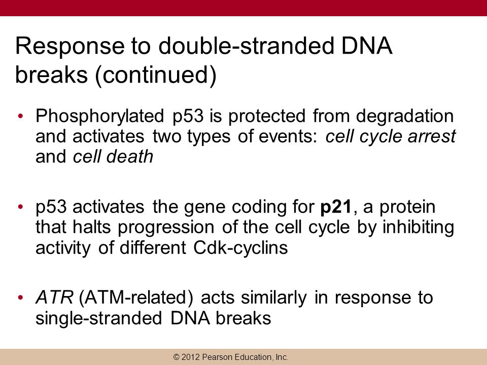 © 2012 Pearson Education, Inc. Response to double-stranded DNA breaks (continued) Phosphorylated p53 is protected from degradation and activates two t