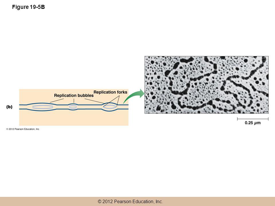 © 2012 Pearson Education, Inc. Figure 19-5B