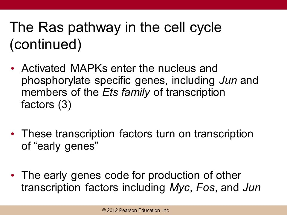© 2012 Pearson Education, Inc. The Ras pathway in the cell cycle (continued) Activated MAPKs enter the nucleus and phosphorylate specific genes, inclu