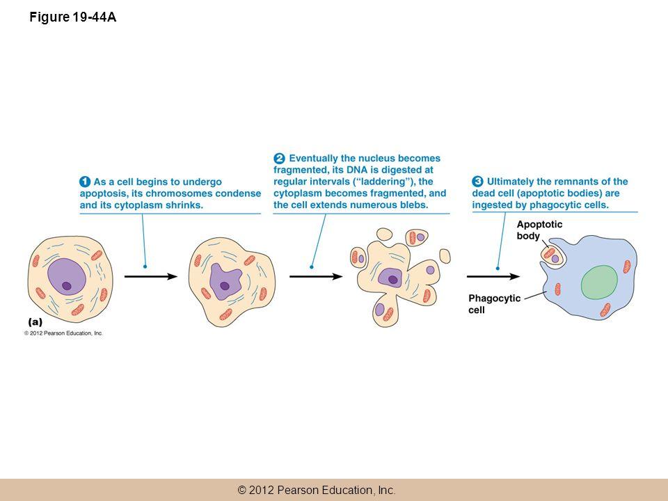 © 2012 Pearson Education, Inc. Figure 19-44A