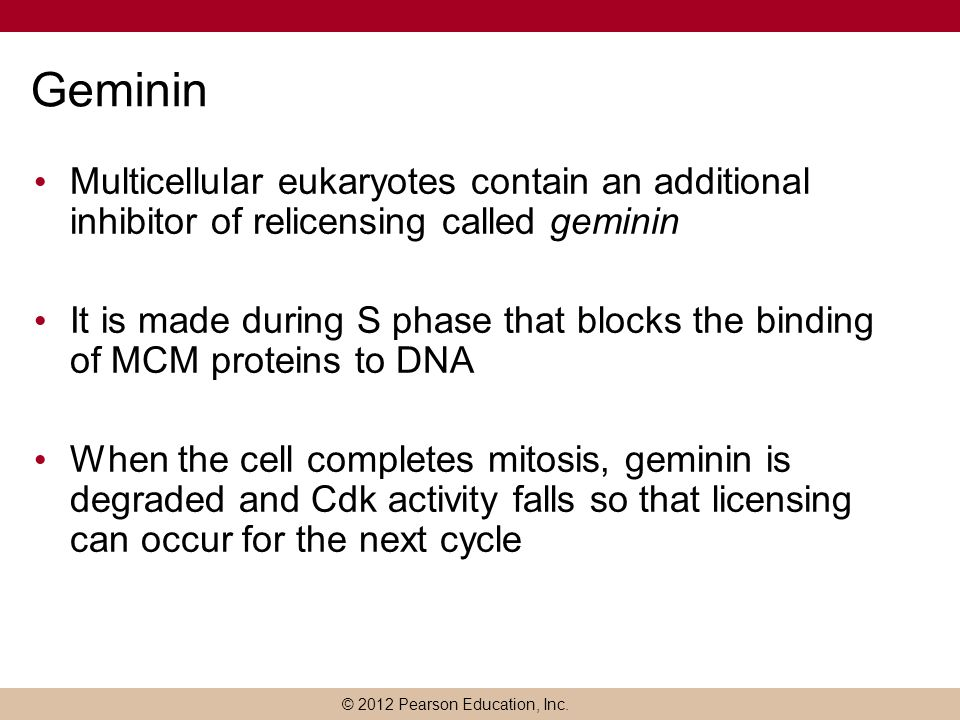 © 2012 Pearson Education, Inc. Geminin Multicellular eukaryotes contain an additional inhibitor of relicensing called geminin It is made during S phas