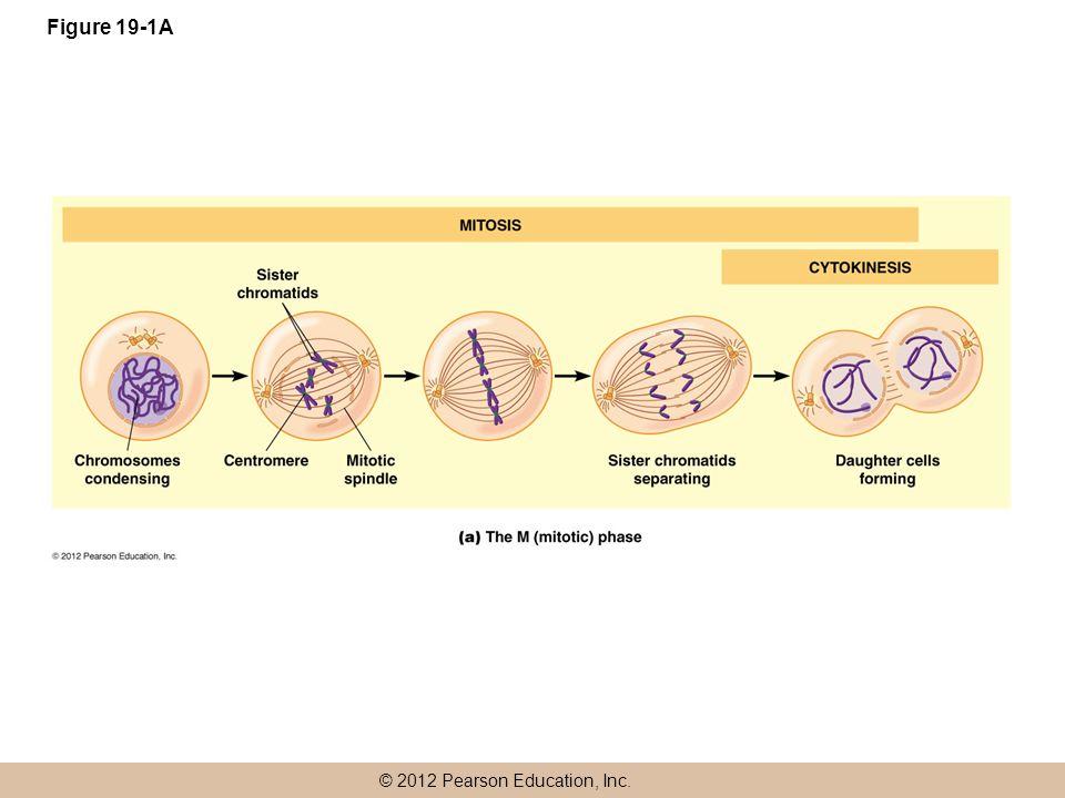 © 2012 Pearson Education, Inc. Figure 19-1A