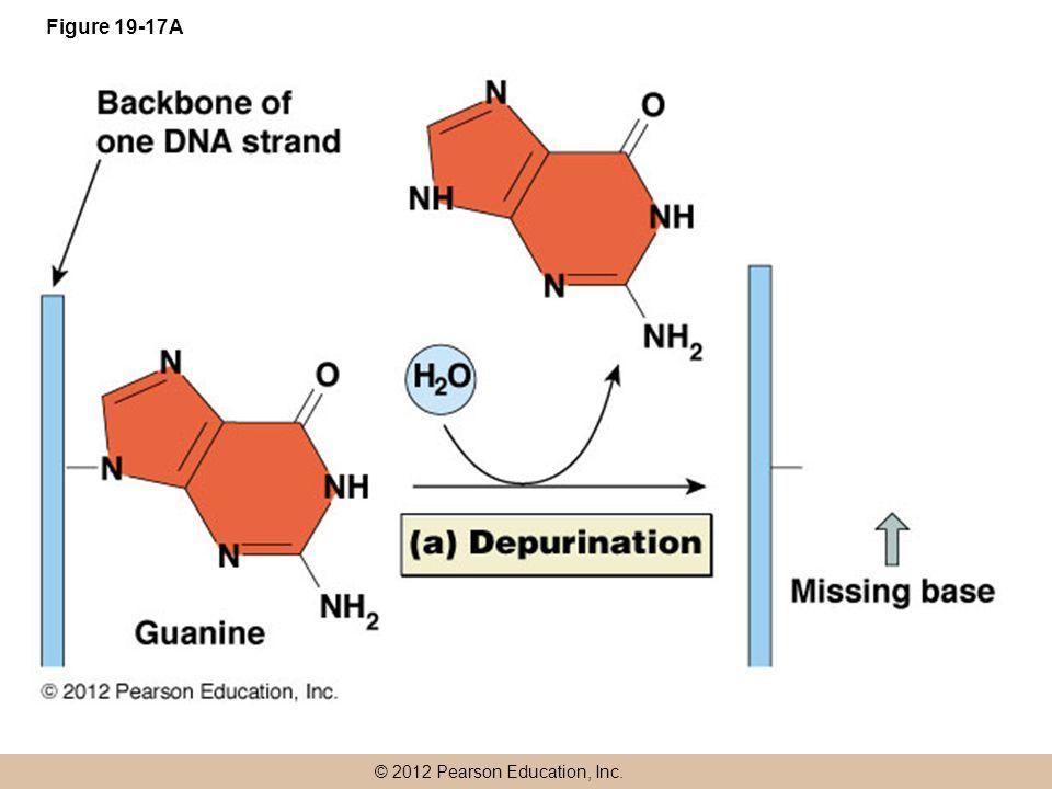 © 2012 Pearson Education, Inc. Figure 19-17A