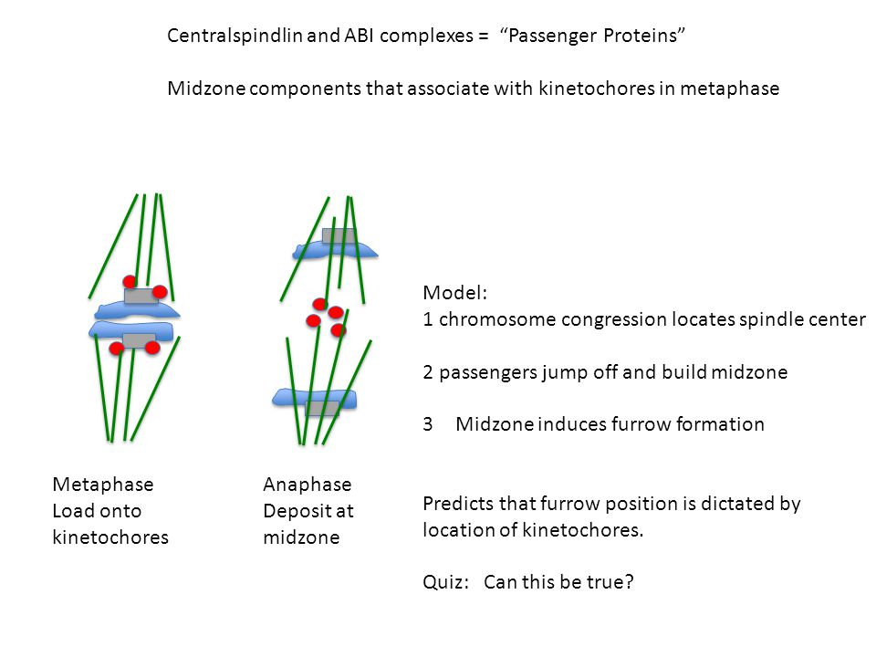 Centralspindlin and ABI complexes = Passenger Proteins Midzone components that associate with kinetochores in metaphase Metaphase Load onto kinetochores Anaphase Deposit at midzone Model: 1 chromosome congression locates spindle center 2 passengers jump off and build midzone 3Midzone induces furrow formation Predicts that furrow position is dictated by location of kinetochores.