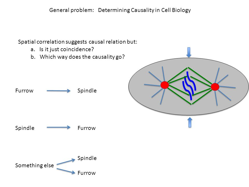 General problem: Determining Causality in Cell Biology Spatial correlation suggests causal relation but: a.