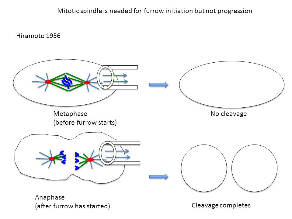 Mitotic spindle is needed for furrow initiation but not progression Hiramoto 1956 Metaphase (before furrow starts) No cleavage Anaphase (after furrow has started) Cleavage completes
