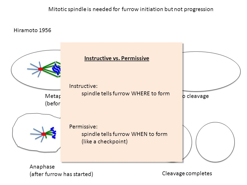 Mitotic spindle is needed for furrow initiation but not progression Hiramoto 1956 Metaphase (before furrow starts) No cleavage Anaphase (after furrow has started) Cleavage completes Instructive vs.