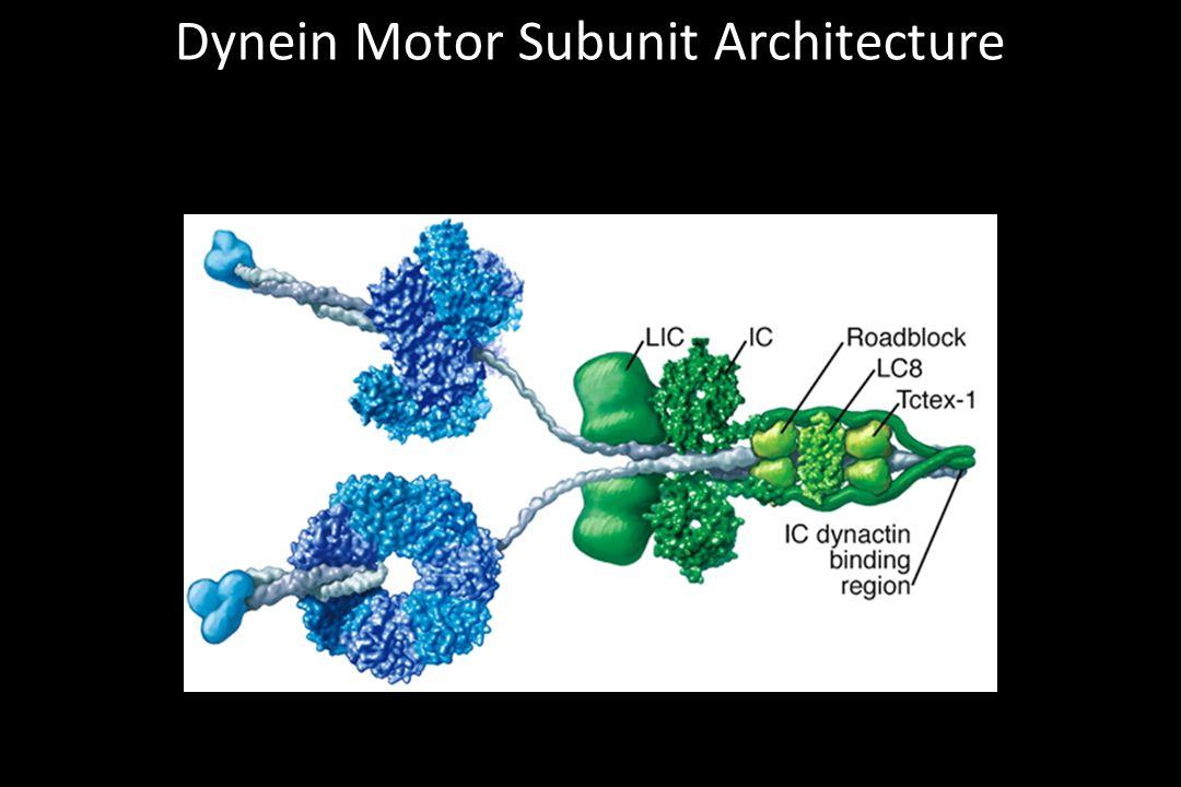 Dynein Motor Subunit Architecture