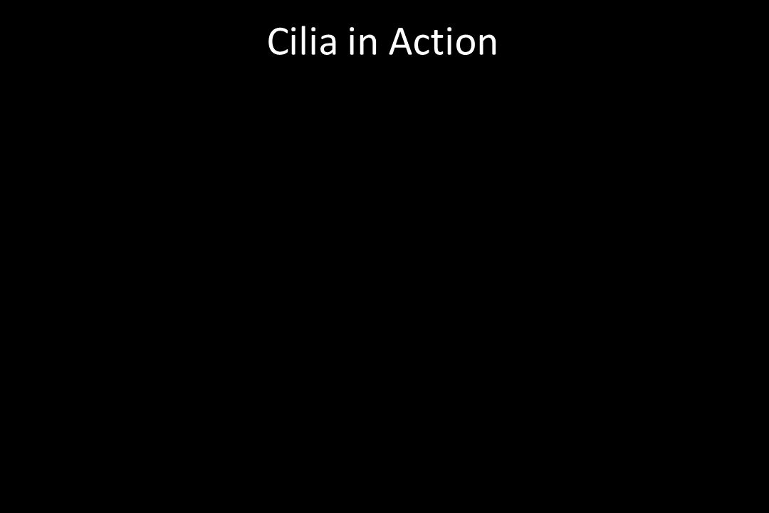 Cilia in Action
