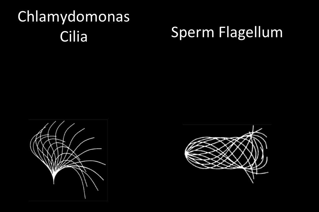 Chlamydomonas Cilia Sperm Flagellum