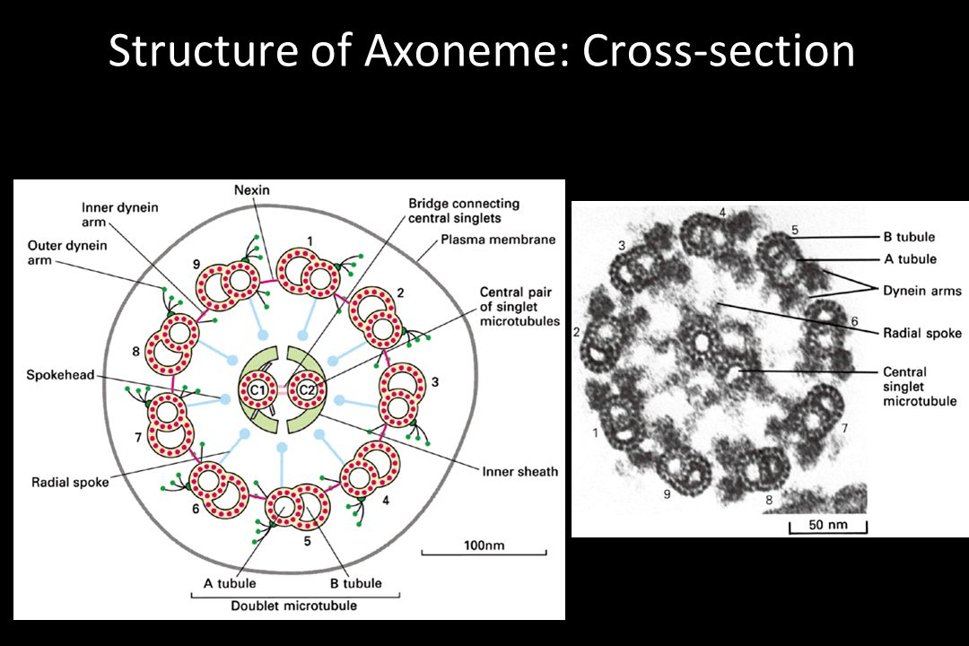 Structure of Axoneme: Cross-section