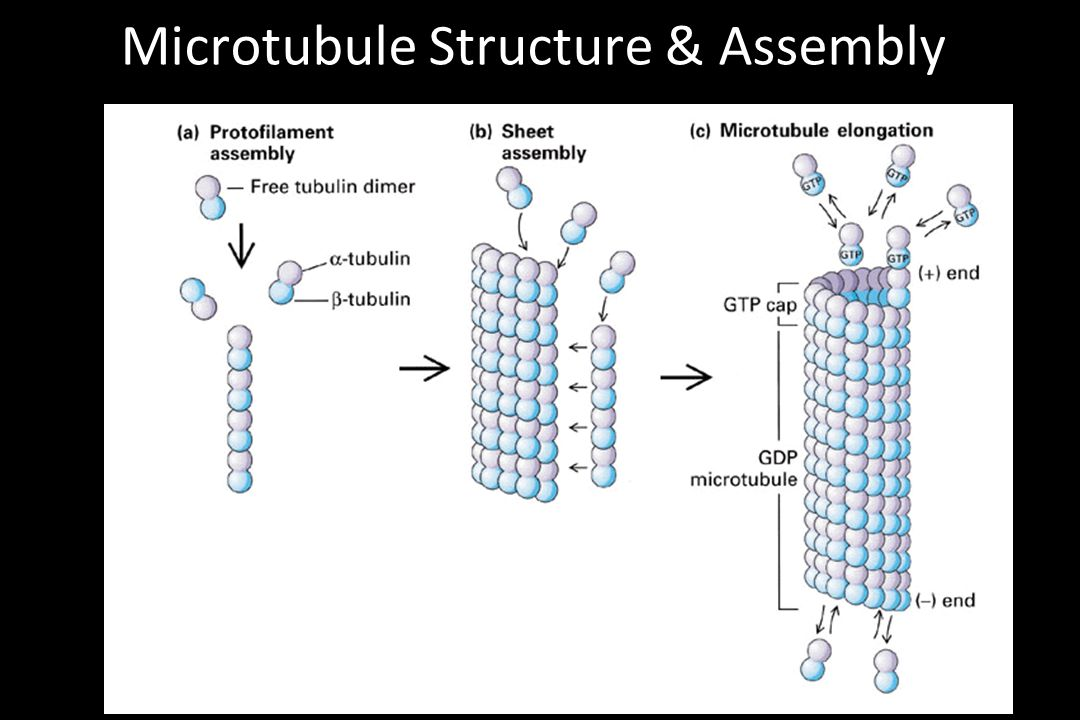 Microtubule Structure & Assembly
