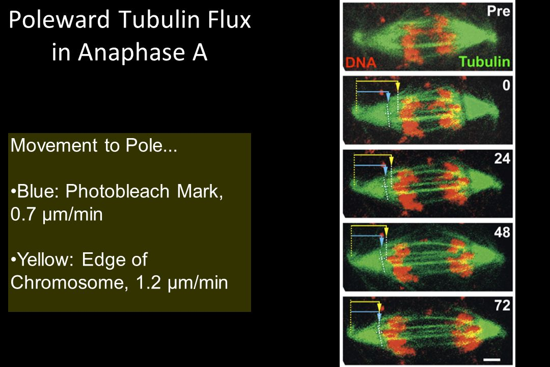 Poleward Tubulin Flux in Anaphase A Movement to Pole... Blue: Photobleach Mark, 0.7 µm/min Yellow: Edge of Chromosome, 1.2 µm/min
