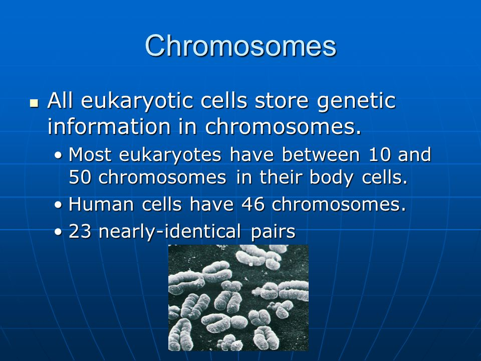 Chromosomes All eukaryotic cells store genetic information in chromosomes. All eukaryotic cells store genetic information in chromosomes. Most eukaryo