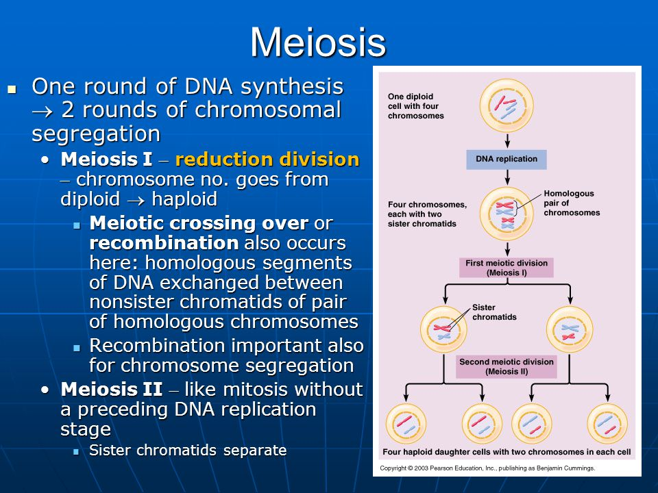 26Meiosis One round of DNA synthesis  2 rounds of chromosomal segregation One round of DNA synthesis  2 rounds of chromosomal segregation Meiosis I