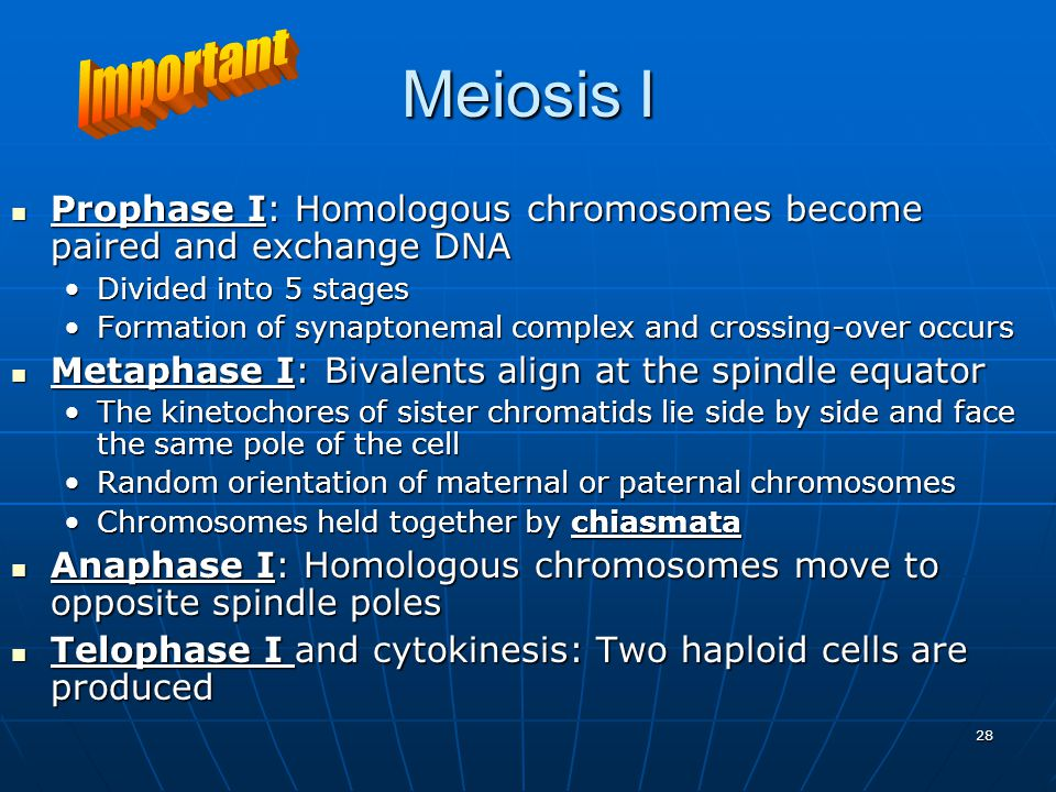 28 Meiosis I Prophase I: Homologous chromosomes become paired and exchange DNA Prophase I: Homologous chromosomes become paired and exchange DNA Divided into 5 stagesDivided into 5 stages Formation of synaptonemal complex and crossing-over occursFormation of synaptonemal complex and crossing-over occurs Metaphase I: Bivalents align at the spindle equator Metaphase I: Bivalents align at the spindle equator The kinetochores of sister chromatids lie side by side and face the same pole of the cellThe kinetochores of sister chromatids lie side by side and face the same pole of the cell Random orientation of maternal or paternal chromosomesRandom orientation of maternal or paternal chromosomes Chromosomes held together by chiasmataChromosomes held together by chiasmata Anaphase I: Homologous chromosomes move to opposite spindle poles Anaphase I: Homologous chromosomes move to opposite spindle poles Telophase I and cytokinesis: Two haploid cells are produced Telophase I and cytokinesis: Two haploid cells are produced