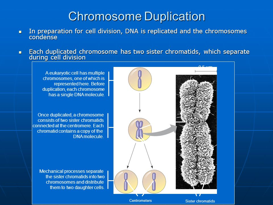 Chromosome Duplication 0.5 µm Chromosome duplication (including DNA synthesis) Centromere Separation of sister chromatids Sister chromatids Centrometers Sister chromatids A eukaryotic cell has multiple chromosomes, one of which is represented here.
