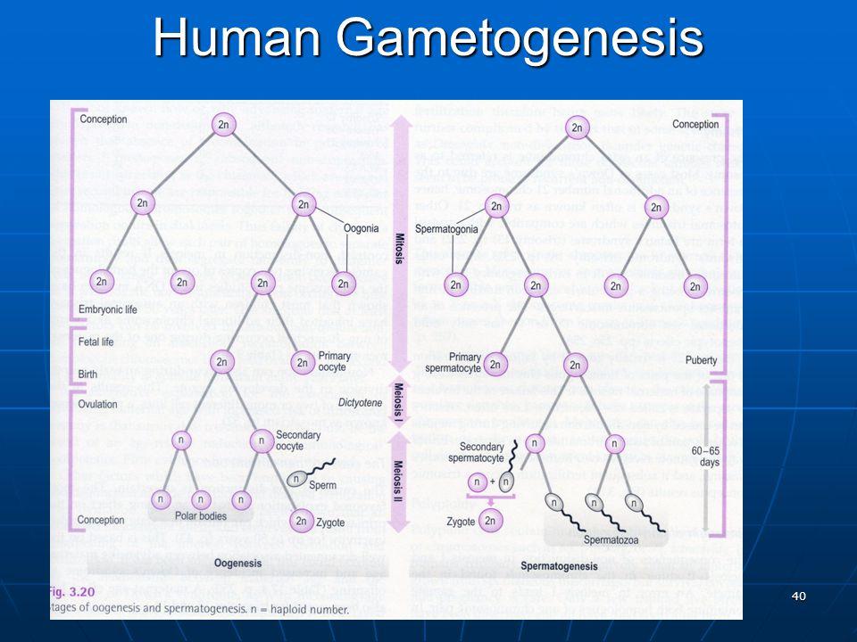 40 Human Gametogenesis