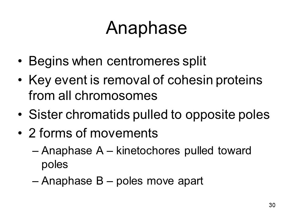 30 Anaphase Begins when centromeres split Key event is removal of cohesin proteins from all chromosomes Sister chromatids pulled to opposite poles 2 f