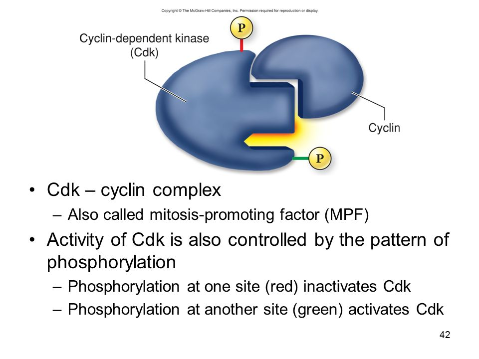 Cdk – cyclin complex –Also called mitosis-promoting factor (MPF) Activity of Cdk is also controlled by the pattern of phosphorylation –Phosphorylation