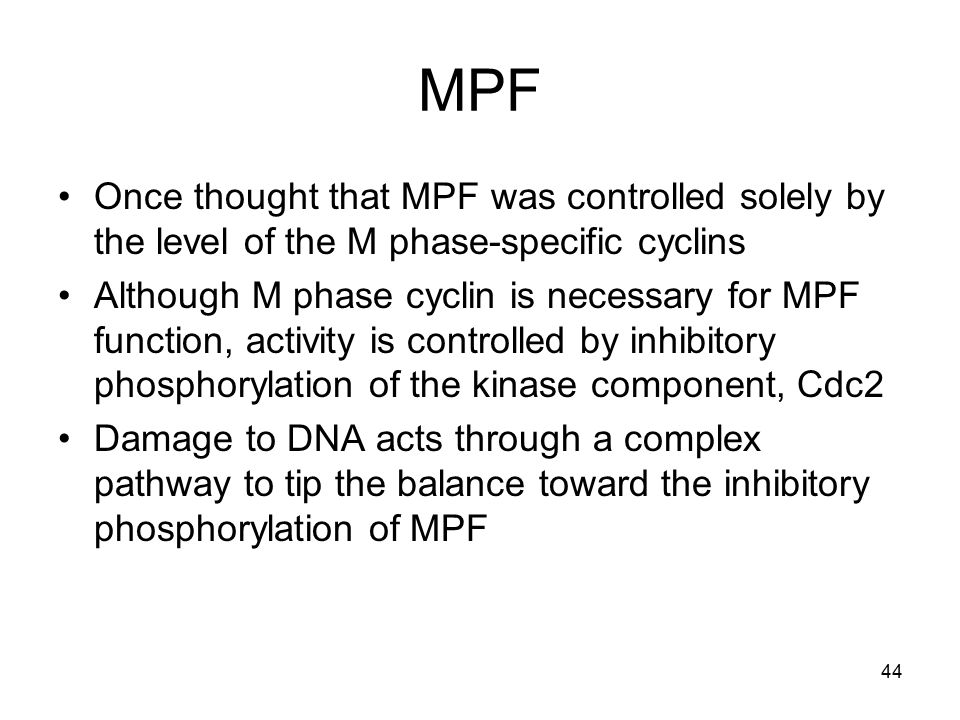44 MPF Once thought that MPF was controlled solely by the level of the M phase-specific cyclins Although M phase cyclin is necessary for MPF function,