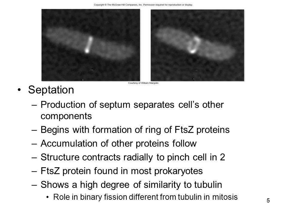 Septation –Production of septum separates cell's other components –Begins with formation of ring of FtsZ proteins –Accumulation of other proteins foll