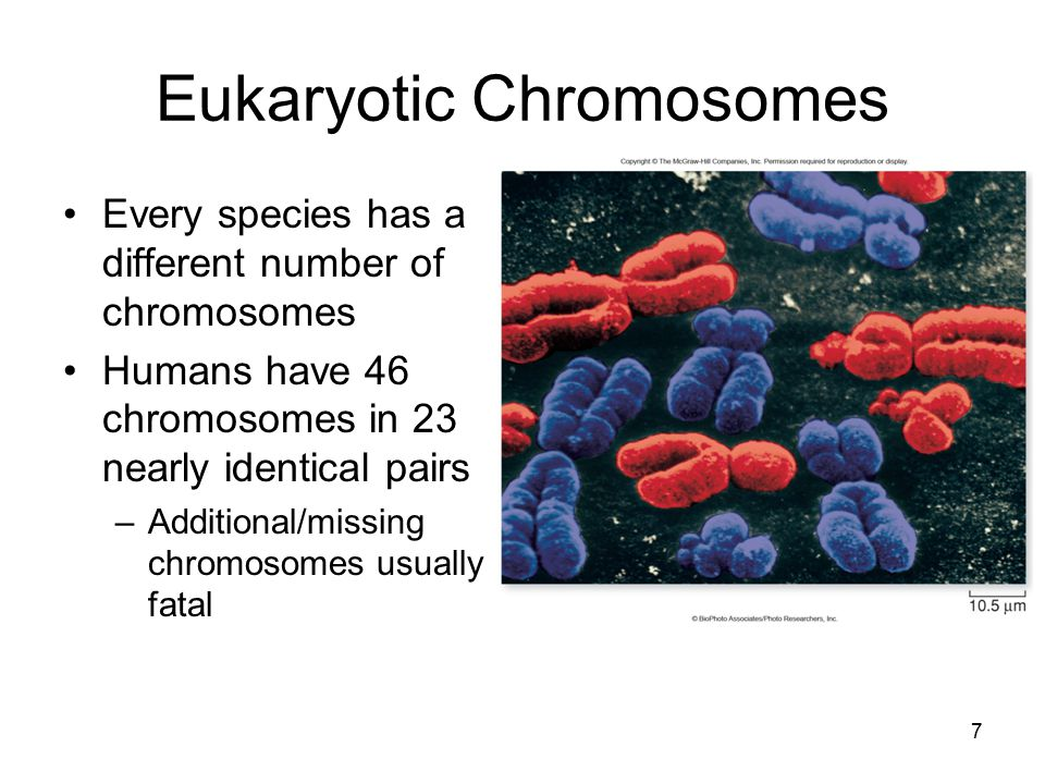 Eukaryotic Chromosomes Every species has a different number of chromosomes Humans have 46 chromosomes in 23 nearly identical pairs –Additional/missing