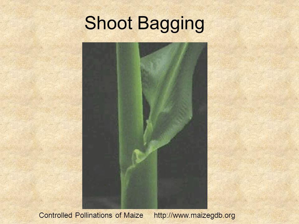Shoot Bagging Controlled Pollinations of Maize http://www.maizegdb.org