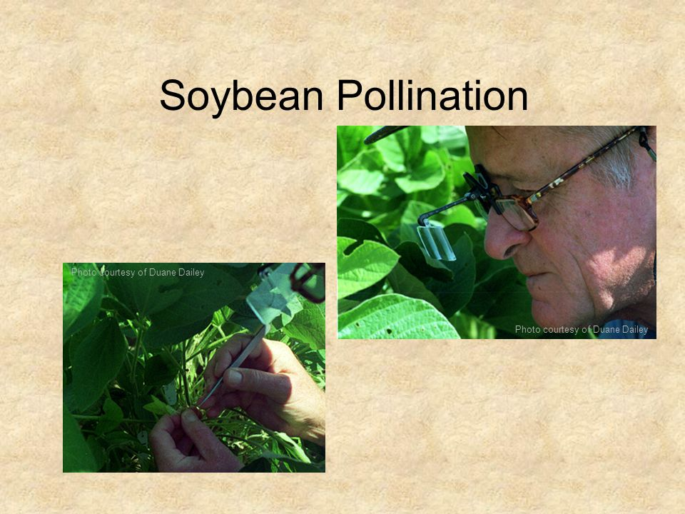 Soybean Pollination Photo courtesy of Duane Dailey