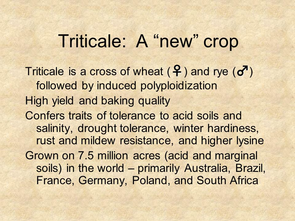 """Triticale: A """"new"""" crop ♀♂ Triticale is a cross of wheat ( ♀ ) and rye ( ♂ ) followed by induced polyploidization High yield and baking quality Confer"""