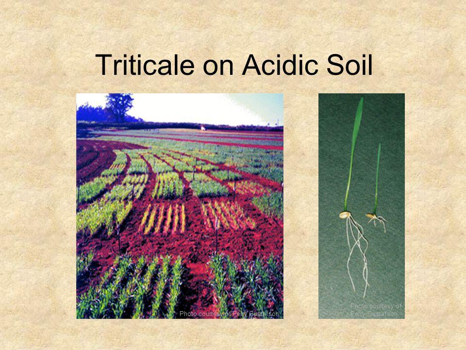 Triticale on Acidic Soil Photo courtesy of Perry Gustafson Photo courtesy of Perry Gustafson