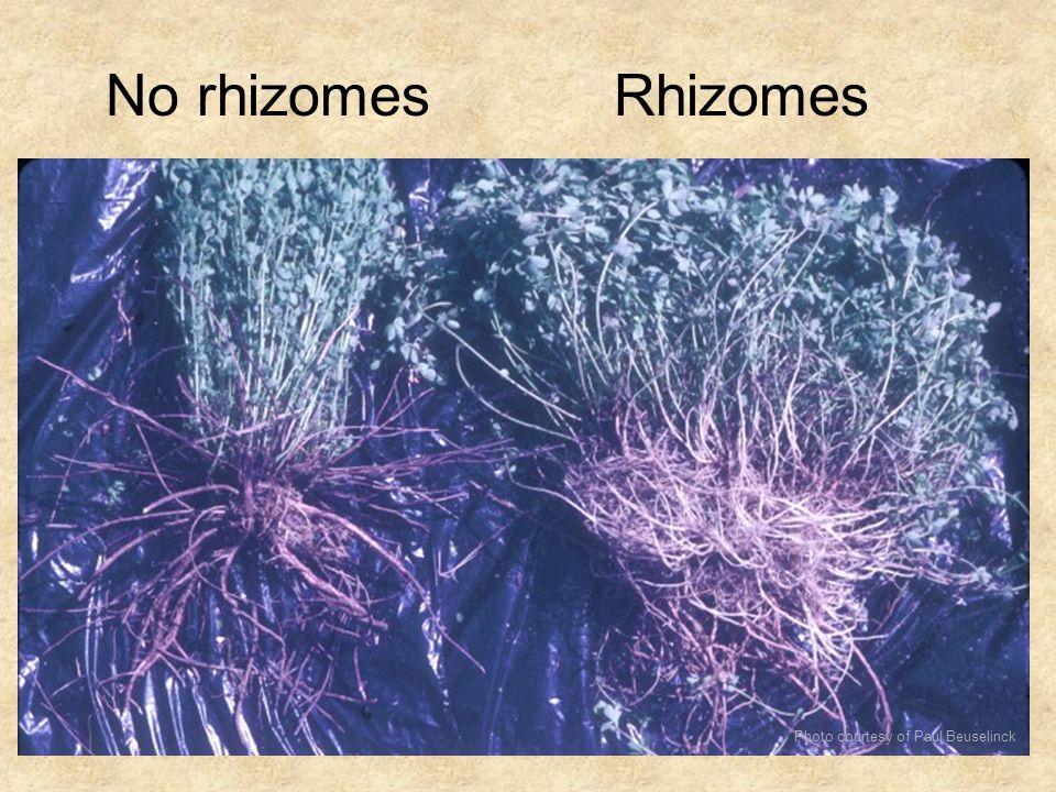 No rhizomes Rhizomes Photo courtesy of Paul Beuselinck