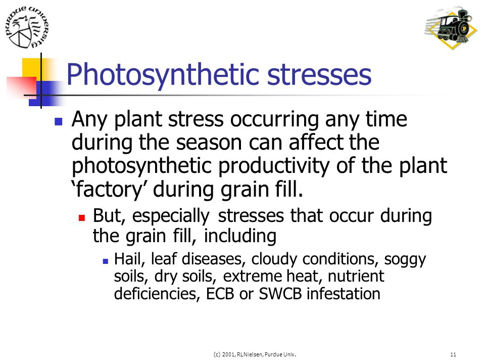 (c) 2001, RLNielsen, Purdue Univ.11 Photosynthetic stresses Any plant stress occurring any time during the season can affect the photosynthetic produc