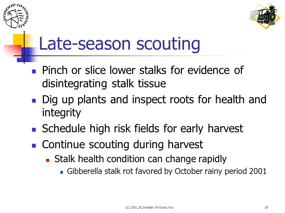 (c) 2001, RLNielsen, Purdue Univ.19 Late-season scouting Pinch or slice lower stalks for evidence of disintegrating stalk tissue Dig up plants and ins