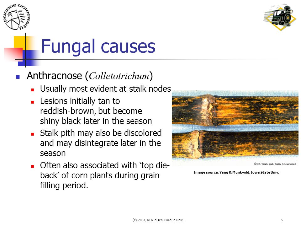 (c) 2001, RLNielsen, Purdue Univ.5 Fungal causes Anthracnose ( Colletotrichum ) Usually most evident at stalk nodes Lesions initially tan to reddish-b