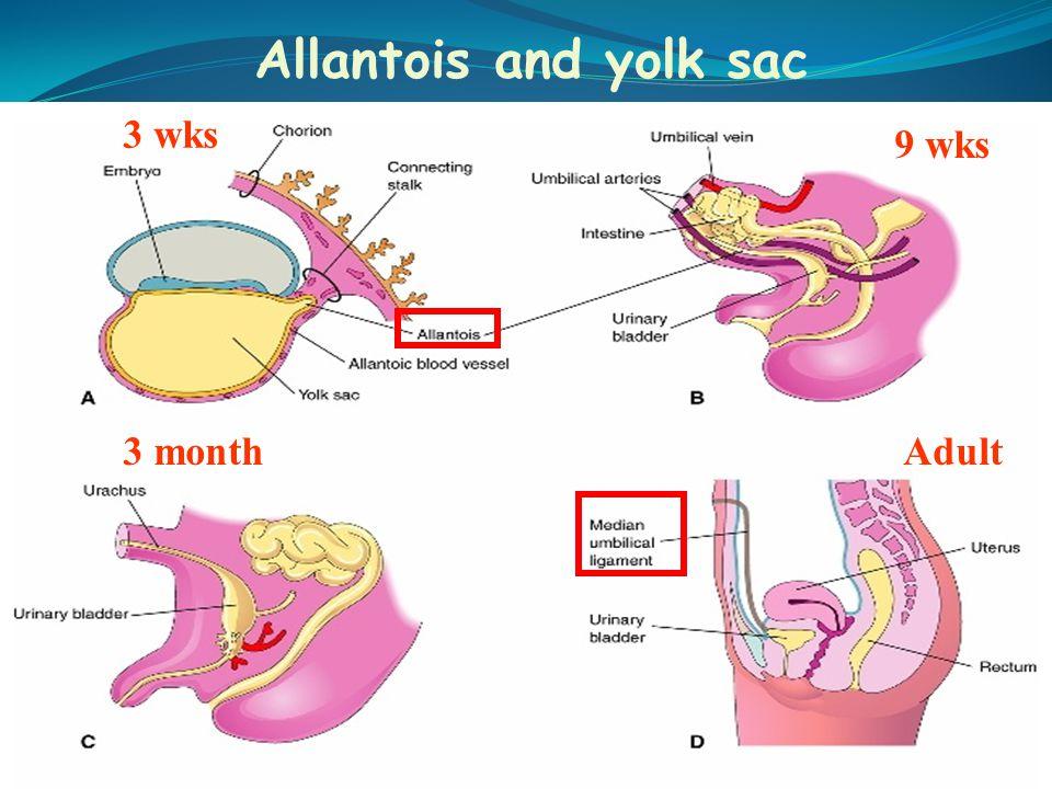 Allantois and yolk sac 3 wks 9 wks 3 monthAdult