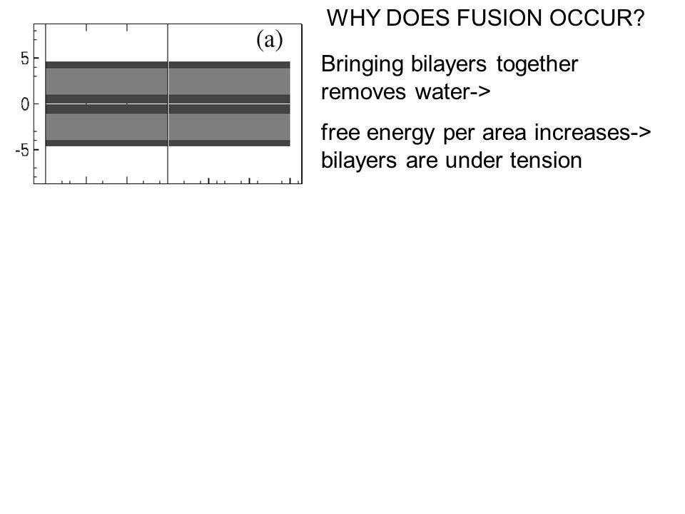 Bringing bilayers together removes water-> free energy per area increases-> bilayers are under tension WHY DOES FUSION OCCUR?