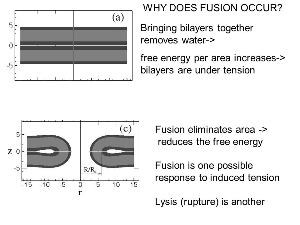 Bringing bilayers together removes water-> free energy per area increases-> bilayers are under tension Fusion eliminates area -> reduces the free energy Fusion is one possible response to induced tension Lysis (rupture) is another WHY DOES FUSION OCCUR