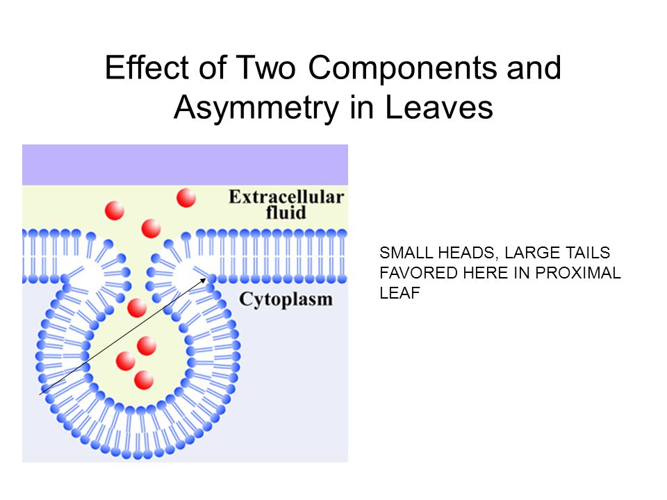 Effect of Two Components and Asymmetry in Leaves SMALL HEADS, LARGE TAILS FAVORED HERE IN PROXIMAL LEAF