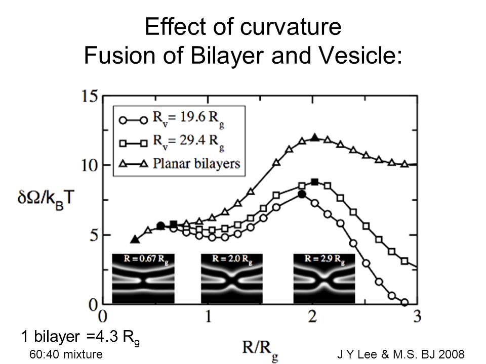 Effect of curvature Fusion of Bilayer and Vesicle: 1 bilayer =4.3 R g 60:40 mixture J Y Lee & M.S.