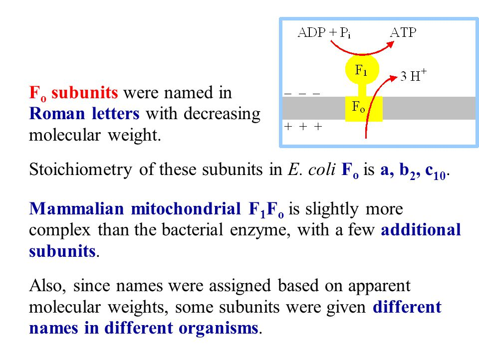 F o subunits were named in Roman letters with decreasing molecular weight.