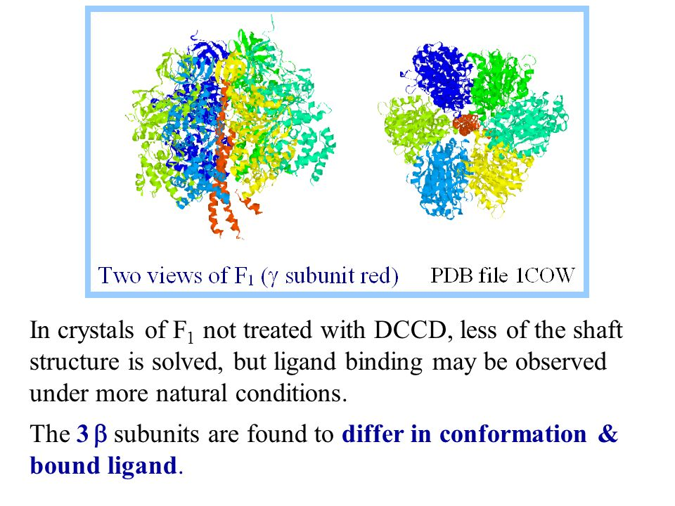 In crystals of F 1 not treated with DCCD, less of the shaft structure is solved, but ligand binding may be observed under more natural conditions.